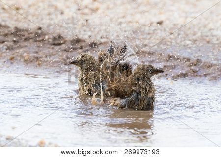 Rufous-tailed Weaver birds shower bathing in small pothole on street at Serengeti National Park in Tanzania, East Africa (Histurgops ruficauda)