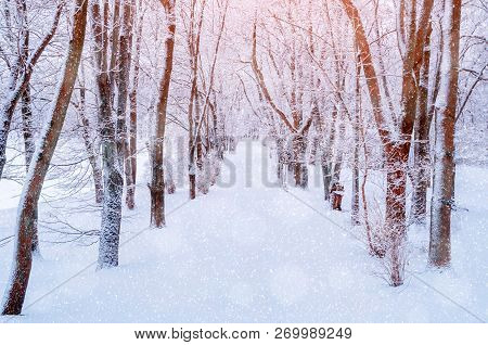 Winter Christmas landscape. Snowy trees along the winter park alley in winter morning. Winter snowy scene with Christmas mood, Cristmas winter morning landscape scene