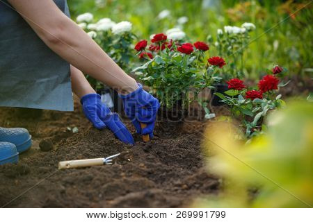 Image of hands of agronomist planting red roses in garden
