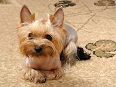 Puppy yorkshire terrier poster