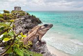 Iguana on the cliff of Tulum - Mexico poster