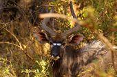 Nyala antelope (ram) in Kruger Park, South Africa poster