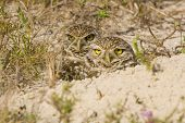 A pair of Burrowing Owl stands next to their burrow and watches the world go by poster