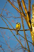 A yellow tit sitting on a branch. poster