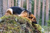 Germany Sheep-dog laying on the stone in the wood poster