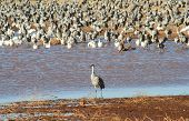 A solitary male sandhill crane stands before a huge flock of other cranes and snow geese. poster