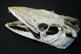 Bones Codfish Head