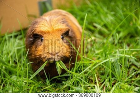 guinea pig on grass natural background