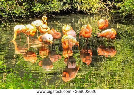 American Flamingos Flock In A Pool Of A Park. Phoenicopterus Ruber Species, Resident In Central Amer