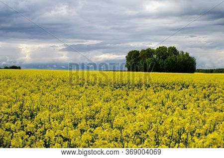 Field Of Beautiful Springtime Golden Flower Of Rapeseed With Blue Sky Rapeseed Is Plant For Green In