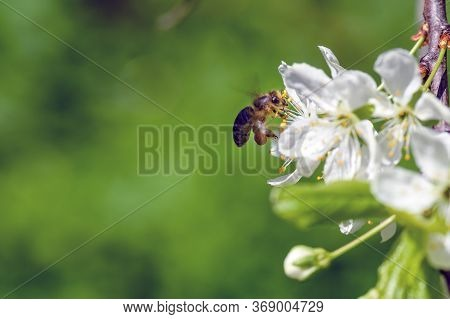 Honey Bee Pollinates Blooming Flowers Of Apple. Bee On Apple Flower. Bee On Spring Flower Collecting