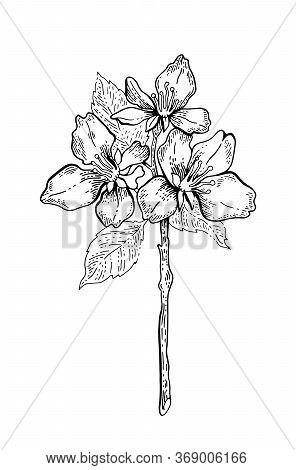 Sakura Blossom Flower. Japanese Cherry Tree Branch Illustration. Vector Floral Hand Drawn Sketch. Li