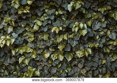 Green Ivy Hedge. Hedera Helix Ivy. Green Floral Background. Green Plant On The Wall. Leaves Texture.