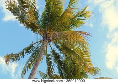 Coconut Palm Trees Bottom View. Green Palm Tree On Blue Sky Background. View Of Palm Trees Against S
