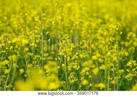 Landscape With Yellow Rapeseed Field. Bright Yellow Rapeseed Oil. Biofuel.