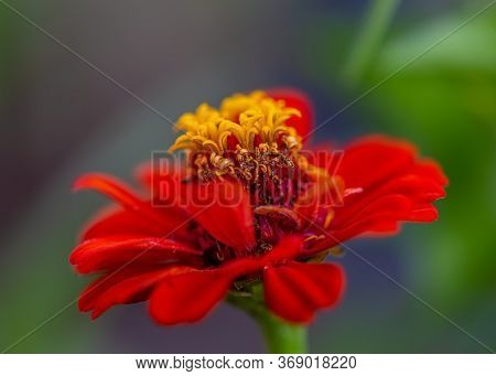Macro Red Flower With Yellow Stamens And Pollen And Blurred Natural Green Dark Background. Shallow D