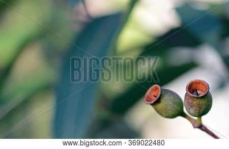 Gum Nuts Of The Australian Native Red Bloodwood, Corymbia Gummifera, Family Myrtaceae, In The Royal
