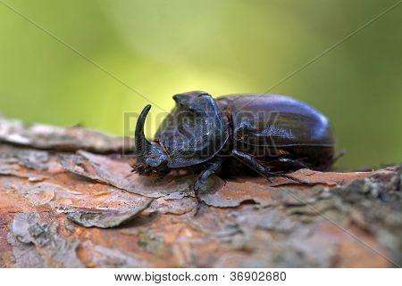 The Rhinoceros Beetle