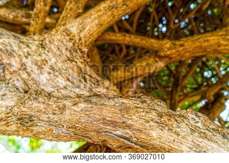The Winding Trunks And Roots Of An Old Tree Create A Bizarre Shape. Beautiful Background Of A Tree S