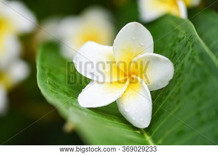 Plumeria Flowers With Drop Water On Green Leaf / Other Names Frangipani , White Plumeria , Temple Tr