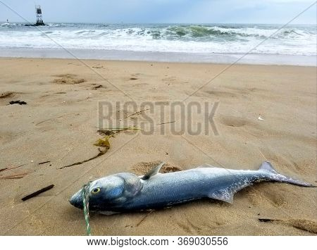A Bluefish Laying On The Beach Overlooking The Waves