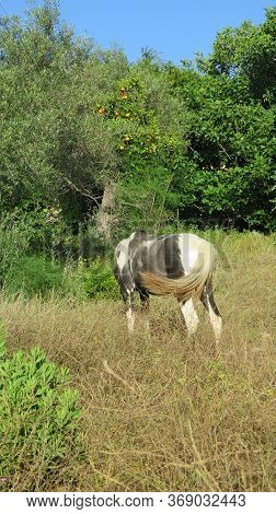 Piebald Horse Feeding In Lush Green Spring Meadow In Southern Andalusia