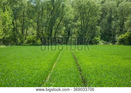 A Path In A Field Of Green Wheat