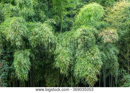 Wall Dense Bamboo Thickets With Long Trunks And Thick Green Foliage. Dense Thickets Of Bamboo.
