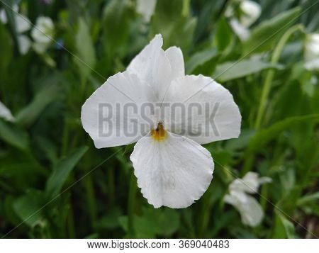 Fresh White Viola On Green Leaves Background. White Viola In Sunny Weather, Close Up Image With A Fl
