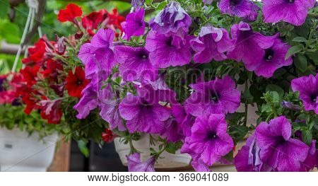Vibrant Violet And Pink Surfinia Flowers Or Petunia In Bloom In Summer. Background Of Group Blooming