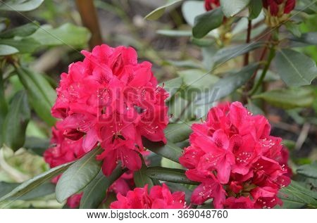 Rhododendron Nova Zembla in garden. Season of flowering azaleas (rhododendron).