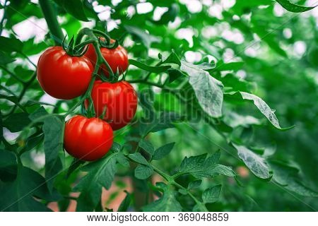 Red Tomatoes In A Greenhouse. Horticulture. Vegetables.