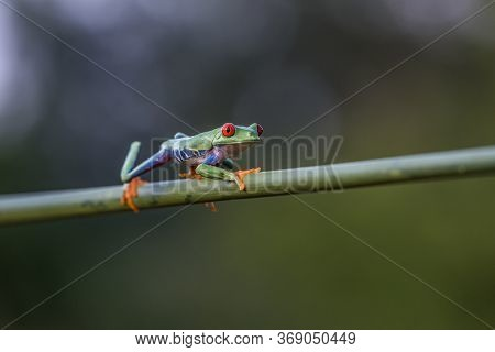Red-eyed Tree Frog, Agalychnis Callidryas, Sitting On The Green Leave In Tropical Forest In Costa Ri