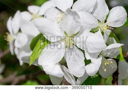 Fresh White Flowers On A Sprig Of Apple Tree. Blooming Apple Tree.