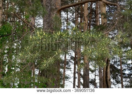 Young Green Sprigs Of Pine With Big Group Of Cones. In The Spring Forest.