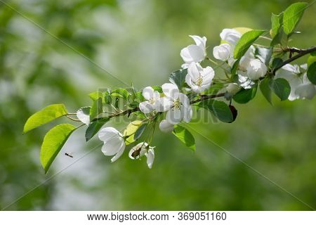Blooming Branch Of Apple Tree In The Spring Garden. Fresh White Flowers On Apple Tree.