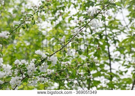Blooming Apple Trees In The Spring Garden. Beautiful White Flowers On Apple Tree.