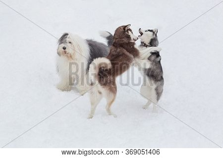 Two Siberian Husky Puppies And Bobtail Sheepdog Are Playing In The Winter Park. Pet Animals.