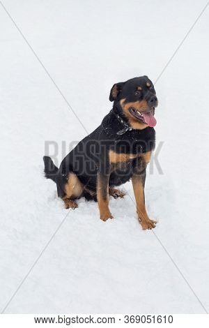 Cute Rottweiler Puppy Is Sitting On A White Snow In The Winter Park. Pet Animals.