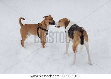 Russian Hound And American Staffordshire Terrier Puppy Are Standing In The Winter Park. Pet Animals.
