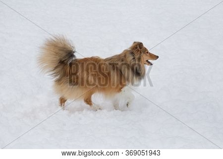 Cute Scotch Collie Is Running On A White Snow In The Winter Park. Pet Animals.