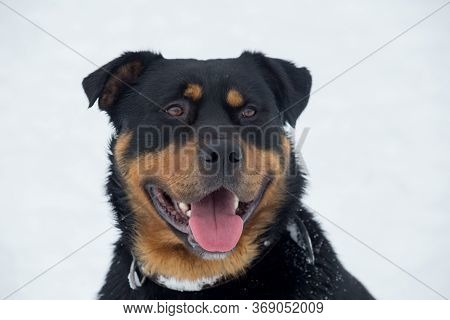 Cute Rottweiler Puppy Isolated On A White Background. Pet Animals.