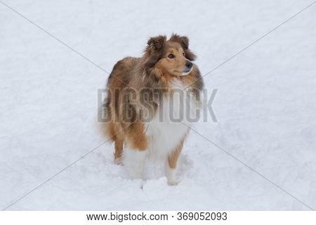 Long Haired Scotch Collie Is Standing On A White Snow In The Winter Park. Pet Animals.