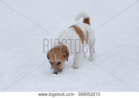 Jack Russell Terrier Puppy Sniffing Tracks On A White Snow. Pet Animals.
