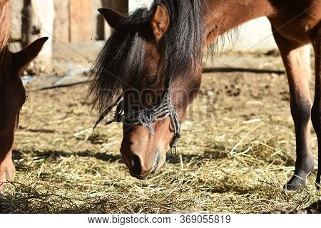 Closeup Portrait Of Beautiful Horse Eating Hay At The Farm/ Horse Eating Grass