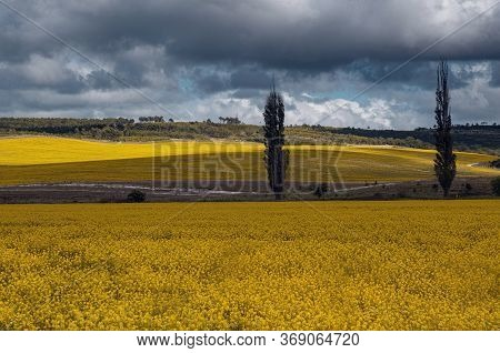 Field Of Rapeseed, Canola Or Colza. Rapeseed Field And Blue Sky