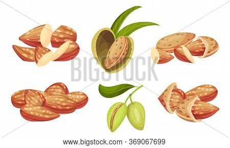 Mature Almond Kernel With Green Leafy Branch Vector Set