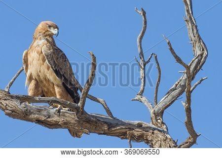 A Tawny Eagle (aquila Rapax) Sitting In A Dead Tree In The Kalahari Against A Blue Sky