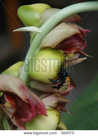 Bee In An Orchid