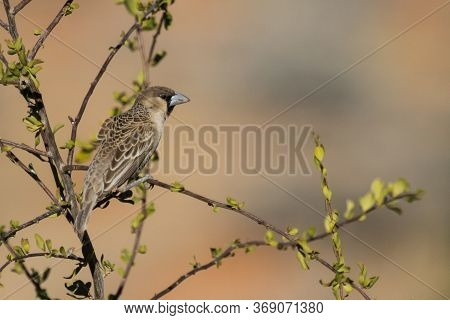 A Sociable Weaver (philetairus Socius) Perched On A Tree Branch In The Kalahari, South Africa